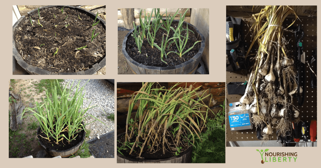 Garlic from shoots to bulbs!